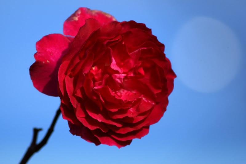 A última rosa do quintal da minha mãe