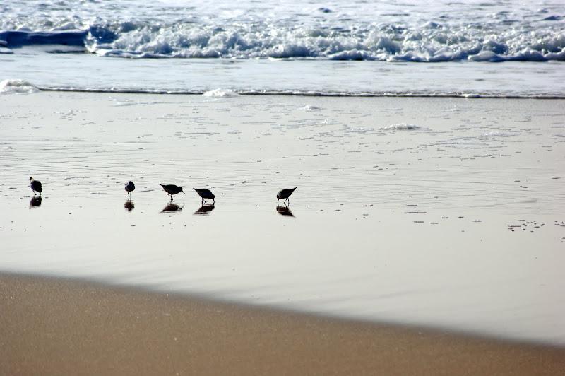 Aves na orla das ondas, Costa da Caparica
