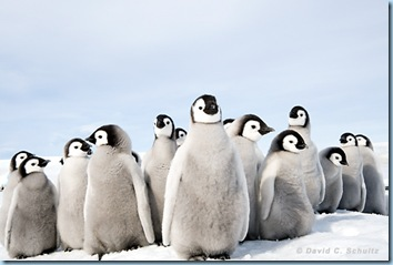 Baby Penguins by David C Schultz