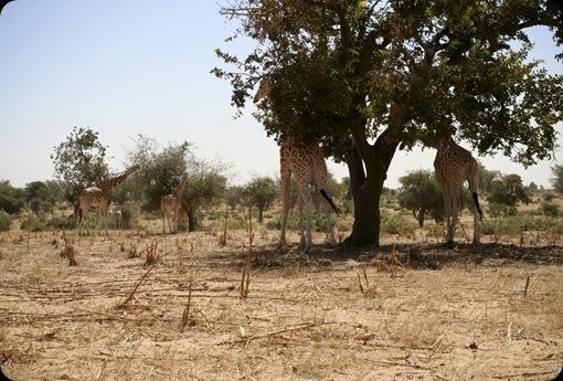 Giraffes06_11