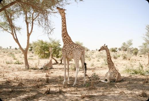 Giraffes01_3