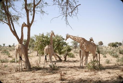 Giraffes01_12