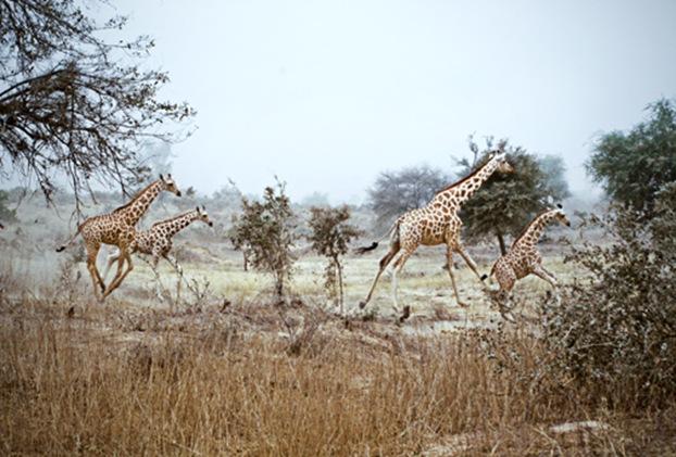 giraffesrunningweb