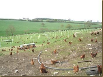Masse høner!