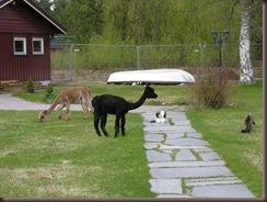 Alpakkaene inn i hagen 001