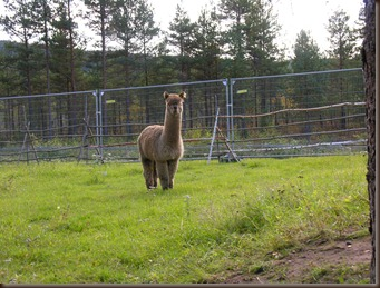 alpacas day one 046