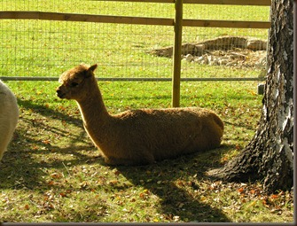 alpacas day one 072