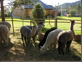 alpacas day one 078