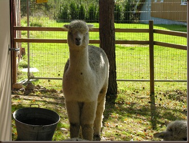 alpacas day one 084