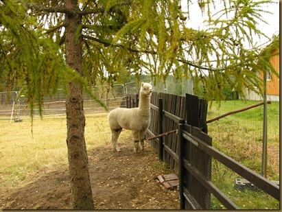 Alpaca Sire/alpakkahingsten Corazon