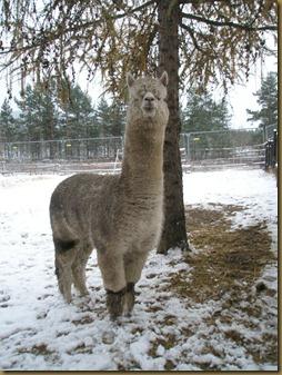 Corazon takler snøen helt fint. For en alpakka.