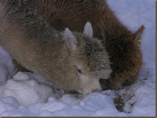 Alpakka: Rose og Oasis Gold