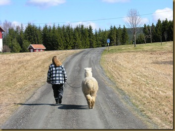 Knapper Alpakkas Nina walking Corazon where we live
