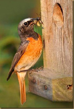 Common Redstart, photo by Monique Bogaerts, not the same bird as in our garden
