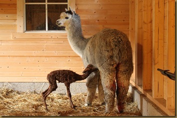 First milk! Viella is a great mother.