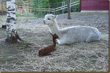 Rose watches the little cria while Viella gets some food