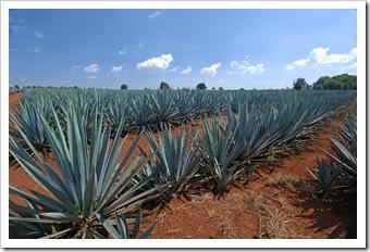 blue-agave-arandas_3226_r2