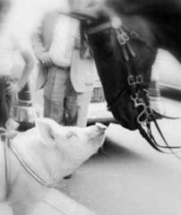 porco-cavalo-252x300