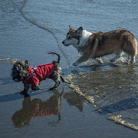 Fanny and Rosie playing at the beach by Brent Morris - Animals - Dogs Playing