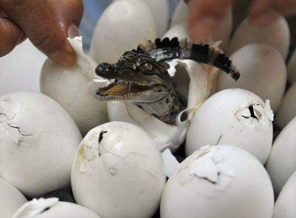 Ever Seen Baby Crocodiles ?