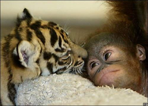An Amazing & Unusual Friendship between Baby Monkeys and Cubs
