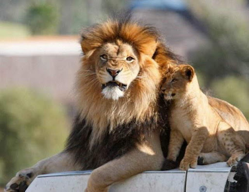 lion and lioness and cub. Sweet Lion love: A Lioness