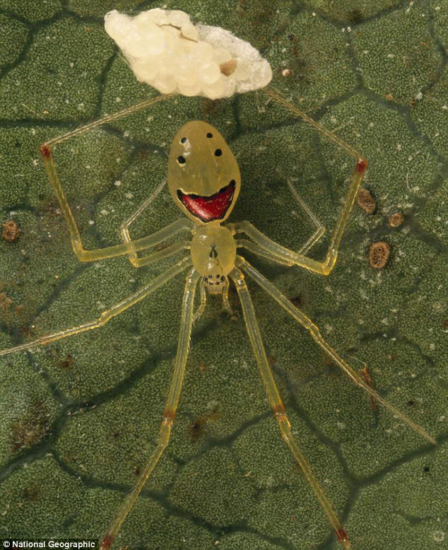 Happy Arachnids: Meet the Hawaiian spider that will make you smile