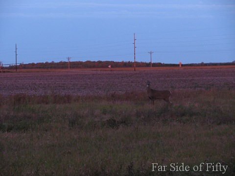 Deer in the field Sept26 2010