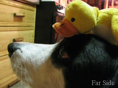 Chance modeling a duck