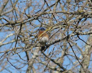 Peek a boo Bluebird
