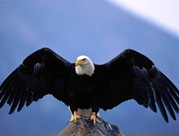 Bald_Eagle-Wingspan-1024x768