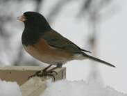 Dark_Eyed_Junco_15