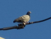 Pigeon1
