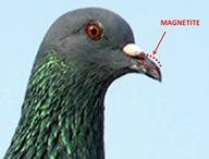 Magnetite Beak