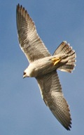 peregrine-falcon-2-18-05-mi