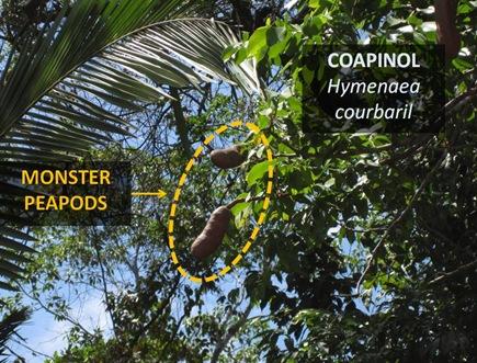 Coapinol Pods