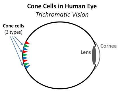 Human Eye Cones