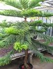 Araucaria_heterophylla