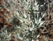 Sagebrush leaves