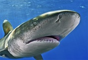 oceanic-whitetip-shark-1049157-ga