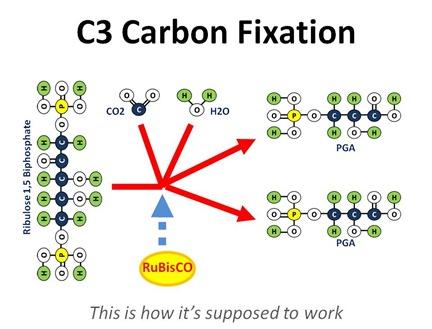 C3 Fixation