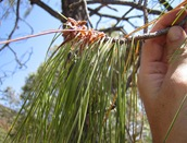 Pinus Lumholzi Needles1