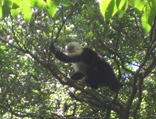 WF Capuchin CR 3 07