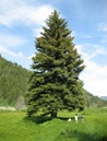 Blue Spruce