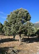 pinon-pine-tree-web-photo
