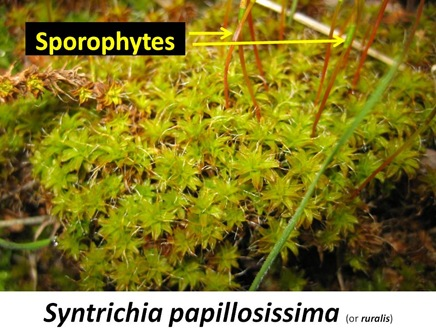 Spapillosissima Closeup