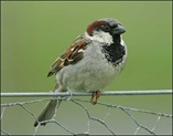 house_sparrow_nigel_blake_470x365
