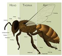 666px-HoneyBeeAnatomy