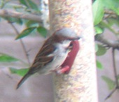 E Sparrow cut