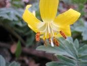 Glacier Lily Closeup 4 12 08